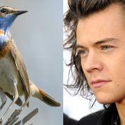 Einen skurrilen Beauty-Tipp gibt One-Direction-Star Harry Styles allen pickeligen Teenagern mit auf den Weg: Nachtigallenkot sei seine Geheimwaffe gegen Akne! Sehr zum Leidwesen der restlichen Bandmitglieder - das Zeug soll nämlich höllisch stinken!