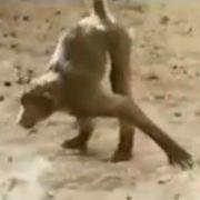 Ein torkelnder Affe.
