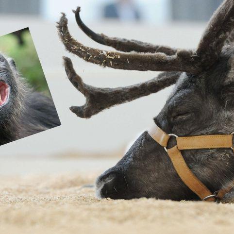 Tierische Trinkgelage! Wie sich Rentiere und Affen berauschen (Foto)