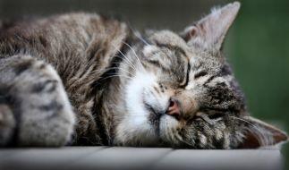 Unkastrierten Katzen droht womöglich bald Hausarrest. (Foto)
