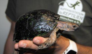 Diese Schildkröte kam in der Jackentasche einer Syrerin nach Deutschland. (Foto)