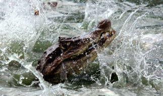 Alligator frisst Einbrecher auf der Flucht. (Foto)