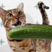Natürlicher Todfeind Gurke? Darf man Katzen so schocken? (Foto)