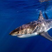 Mann verprügelt Drei-Meter-Hai und entkommt (Foto)
