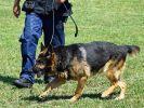 Ein Hundeführer im Training mit seinem Polizeihund. (Foto)