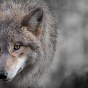 Wölfe attackieren Mann - Experte fordert Abschuss (Foto)