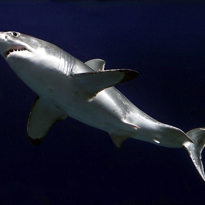 Gigantisch! 7 Meter langer Weißer Hai gesichtet (Foto)