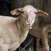 Mann hat Sex mit Schaf - Tier stirbt (Foto)