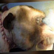Sensation! Affenkopf auf fremden Körper transplantiert (Foto)