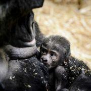 Gorilla-Baby in Amsterdamer Zoo geboren (Foto)