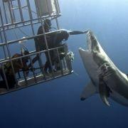 Mann gibt weißen Hai Streicheleinheit (Foto)
