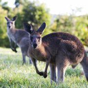 Australier plant Sprengstoffanschlag mit einem Känguru (Foto)