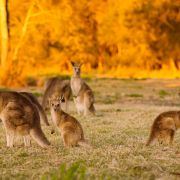 Tierhasser überfährt 17 Kängurus (Foto)