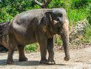 Elefantenbullen in der Musht sind besonders aggressiv. Darum raten Experten davon ab, diese Tiere auf Tracks einzusetzen. Symbolbild. (Foto)