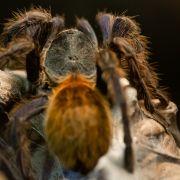 Vogelspinnen ausgesetzt? Das steckt dahinter (Foto)