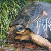 Tierschmuggel! Diebe stehlen seltene Schildkröte aus Zoo (Foto)