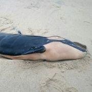 Spaziergänger entdecken Orca-Wal am Strand von Sylt (Foto)
