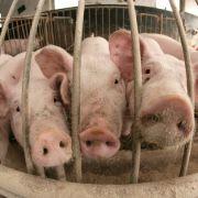 Tote Gefangene an Schweine verfüttert (Foto)