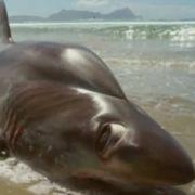Glubschäugiger Monster-Hai schockt Touristen (Foto)