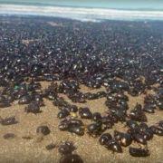Tausende Krabbler! Mysteriöse Käfer-Plage in Argentinien (Foto)