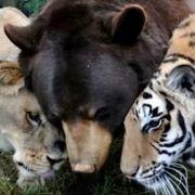 Hier leben Bär, Löwe und Tiger glücklich zusammen (Foto)