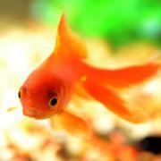 Kennen Sie diesen Goldfisch? (Foto)