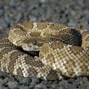 Tausende Klapperschlangen geköpft und gegessen (Foto)