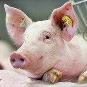 Warum essen Muslime kein Schweinefleisch? (Foto)