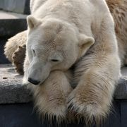 Tod durch Menschenkrankheit! Daran starb Eisbär Knut wirklich (Foto)