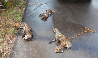 Aufnahme der entsorgten Füchse. Die an den verendeten Tieren angebrachten Stricke waren zur Bergung erforderlich. (Foto)