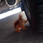 Kriminelle Eichhörnchen lösen Polizeieinsatz aus (Foto)