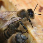 Kurios! Imker werden 90.000 Bienen gestohlen (Foto)