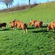 Kühe machen Freudensprünge (Foto)