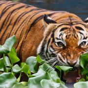 Schrecklicher Unfall! Tiger zerfleischt Wärterin (Foto)