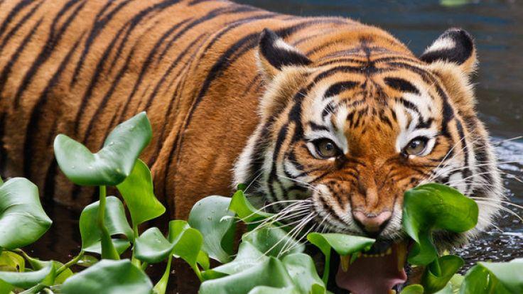 In einem US-Zoo in Florida ist die Wärterin Stacey Konwise von einem Tiger getötet worden. (Foto)