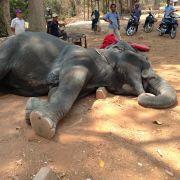 Vor Erschöpfung gestorben! Elefant Sembo als Touri-Attraktion verheizt (Foto)