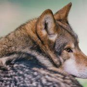 """Erschossen! Wolf """"Kurti"""" ist tot (Foto)"""