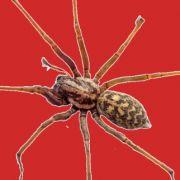 Autsch! Todes-Spinne beißt Mann ins Glied (Foto)