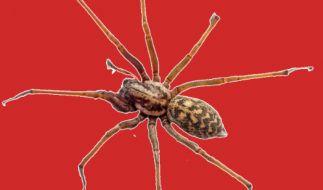 In Australien wurde ein 21-Jähriger von einer Spinne in den Penis gebissen. (Foto)