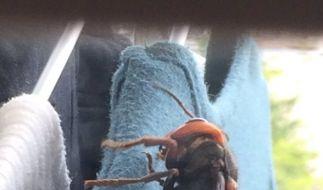 Eine Japanerin fand eine Riesen-Hornisse in ihrem Kleiderschrank. (Foto)