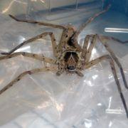 Vermeintliche Todes-Spinne erweist sich als harmlos (Foto)