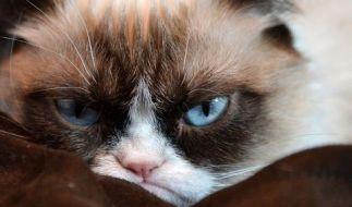 Grumpy Cats wahrer Name ist eigentlich Tardar Sauce. (Foto)