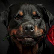 Kampfhunde sind keine Monster - Schuld ist das andere Ende der Leine (Foto)