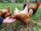 In Offenbach haben Unbekannte auf einem Hühnerhof den wehrlosen Tieren die Köpfe abgerissen. (Foto)
