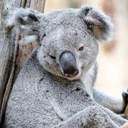 Große Ehre! Koala Oobi-Ooobi wird EM-Orakel (Foto)