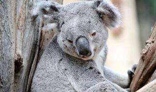 Koala-Männchen Oobi-Ooobi sitzt mit einem Eukalyptus-Zweig im Leipziger Zoo. (Foto)