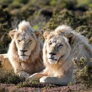 Löwen enthauptet und Tatzen abgeschnitten (Foto)
