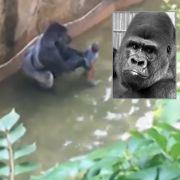 Zoo-Drama! Gorilla-Männchen packt Kind (3) - und wird erschossen (Foto)