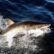 Hai reißt Surfer (29) ein Bein ab - Zeugen schildern blutige Szenen (Foto)