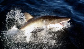 Hai-Angriffe vor Australiens Küste kommen immer wieder vor. (Foto)